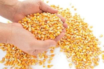 Maiskörner auf der Hand